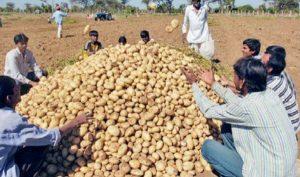 यूपी में आलू, गेहूं व गन्ना का रिकॉर्ड उत्पादन, लेकिन किसानों को फायदा नहीं